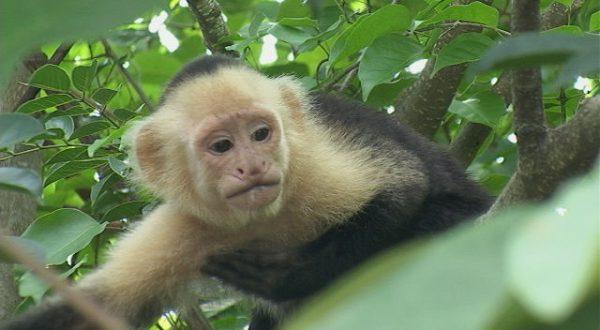 A howler monkey at Casa Las Brisas Costa Rica!