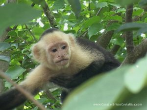 A howler monkey at Casa Las Brisas Costa Rica!