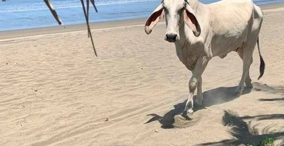 Cow on Potrero Beach