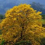 Cortez Amarillo Tree